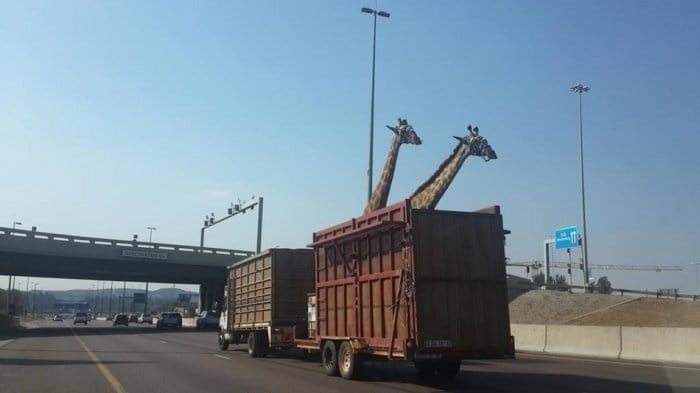 キリンが高速道路で死亡、頭部を橋に強打
