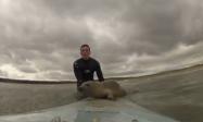 人間と一緒にサーフィンするアザラシが可愛すぎる、サーファー「一生に一度の経験」